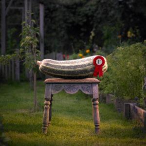Prize marrow in garden.